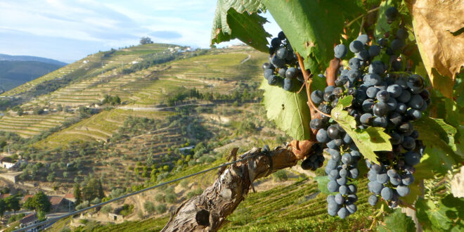 grapes and valley of terraces