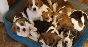 litter of 7 large puppies