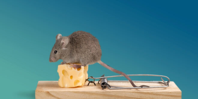 mouse on a piece of cheese in a trap