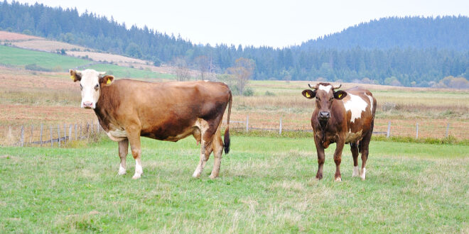 Two cows on green pasture