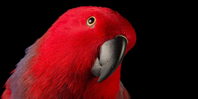 red talking parrot pet