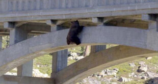 Black Bear hanging on a bridge tressle