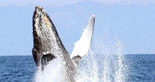 Whale celebrates rescue