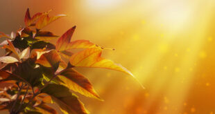 Awesome gold light over maple leaves