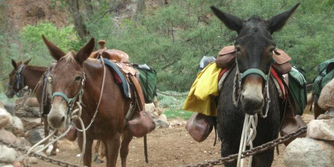 2 saddled mules