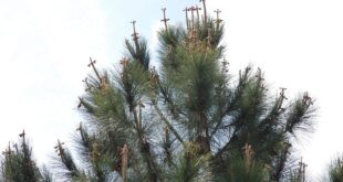 Pine Tree Crosses
