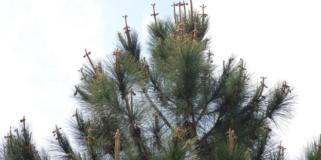 Inspirational pine tree crosses story