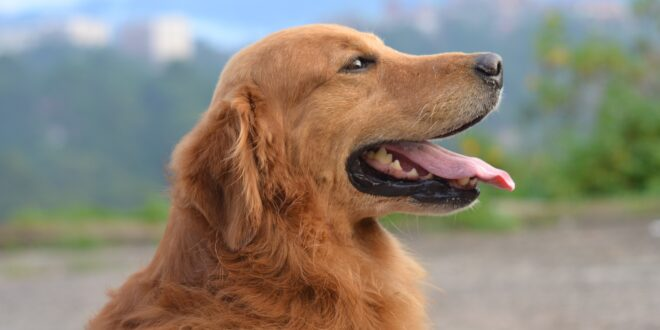 Golden Retriever Looking to the right
