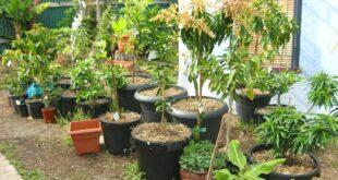 Trees growing in pots