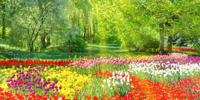 Garden full of tulips