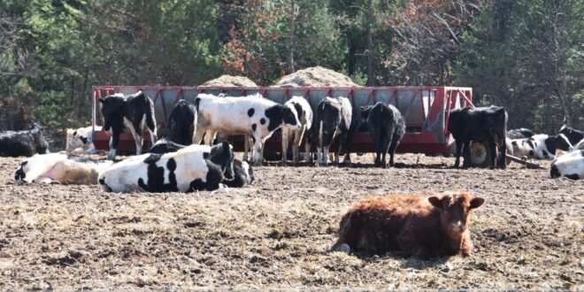 Cattle Eating Hay