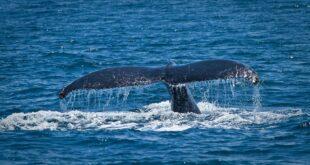 A Grateful Whale