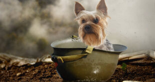 7″ Yorkie Saved 250 U.S. Soldiers