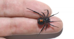 Black Widow Spider in 2 fingers