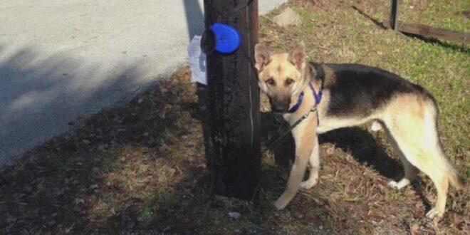 German Shepherd tied to a phone pole