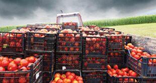 The Tomato Company