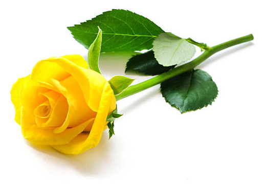 Yellow Rose from a little girl's father