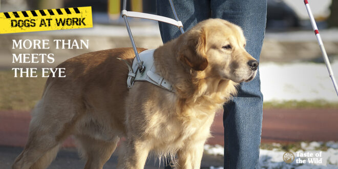 Golden Retriever Seeing Eye Dog