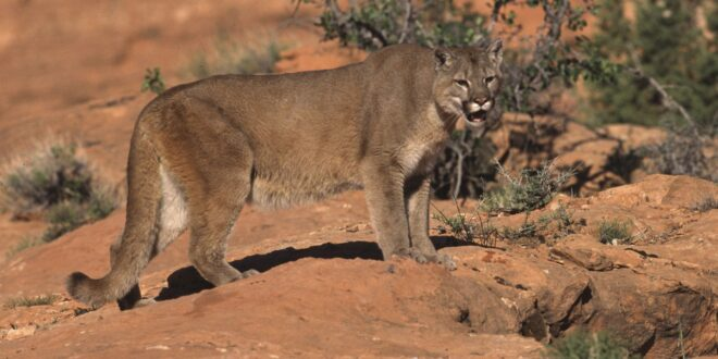 mountain lion on the range