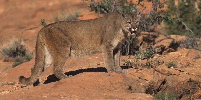 mountain lion on the range