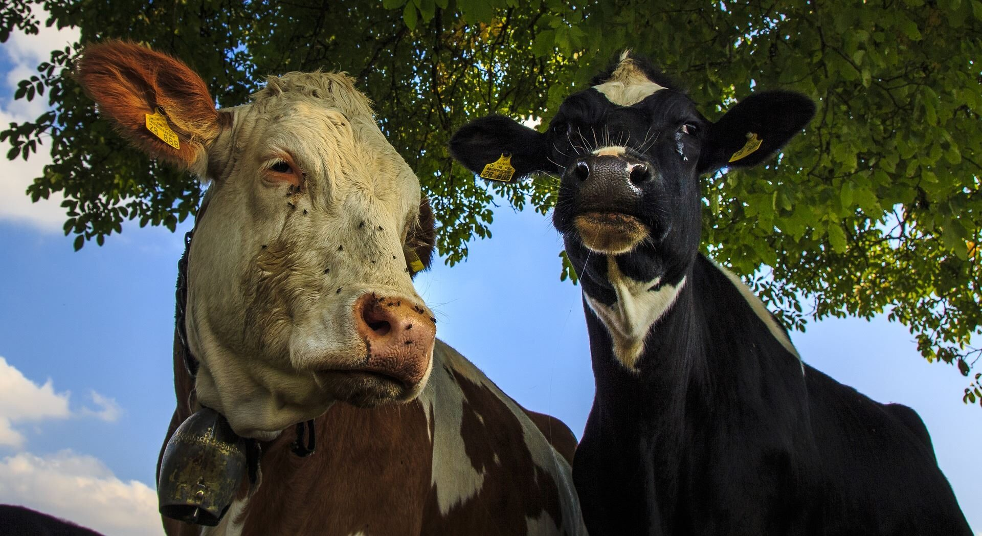 two angus cows under a tree