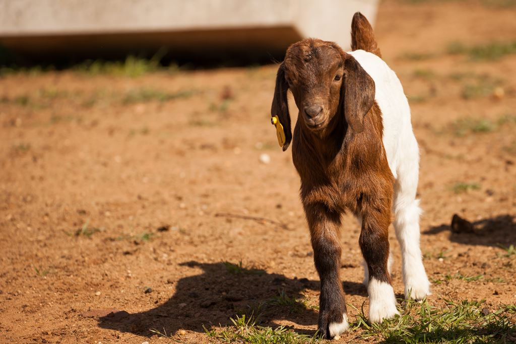 baby goat at the Crosswind Ranch