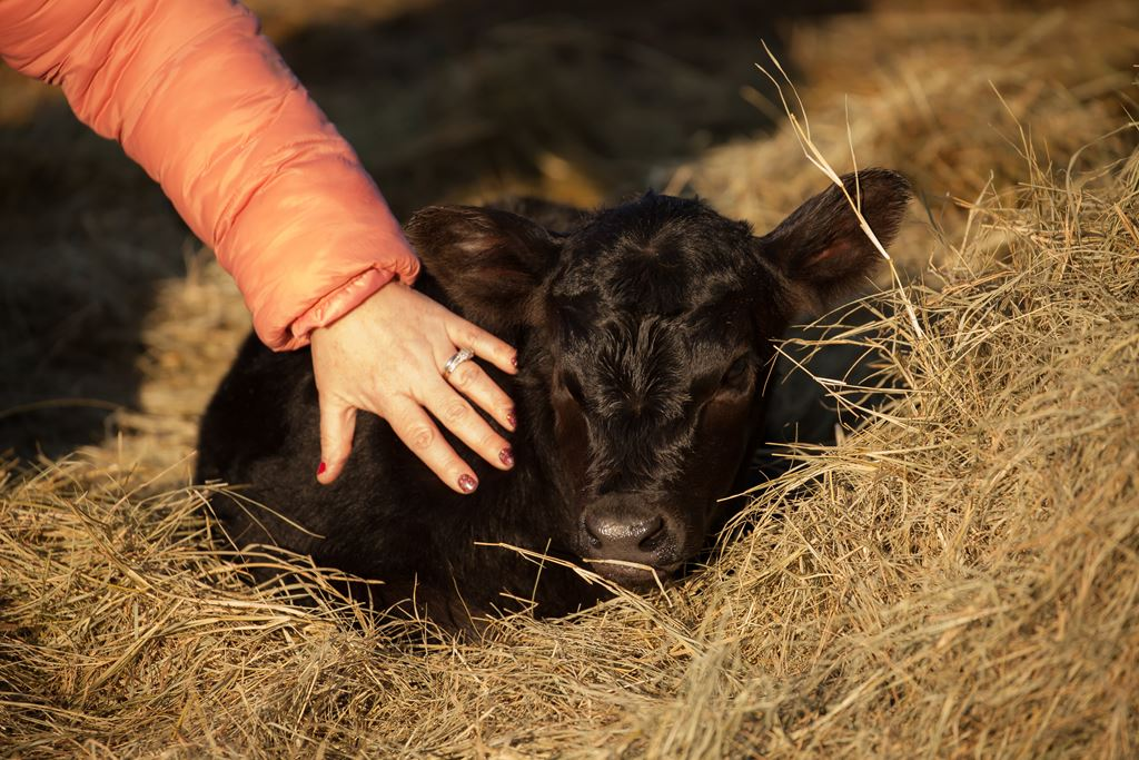 A new calf at Crosswind Ranch