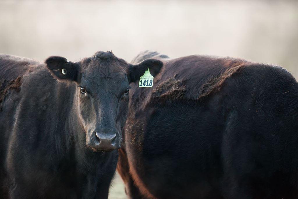 a herd of Crosswind Ranch angus cows