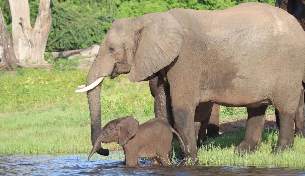 Baby and mother elephant_Chobe River_Botswana_Credit Katrina Holden