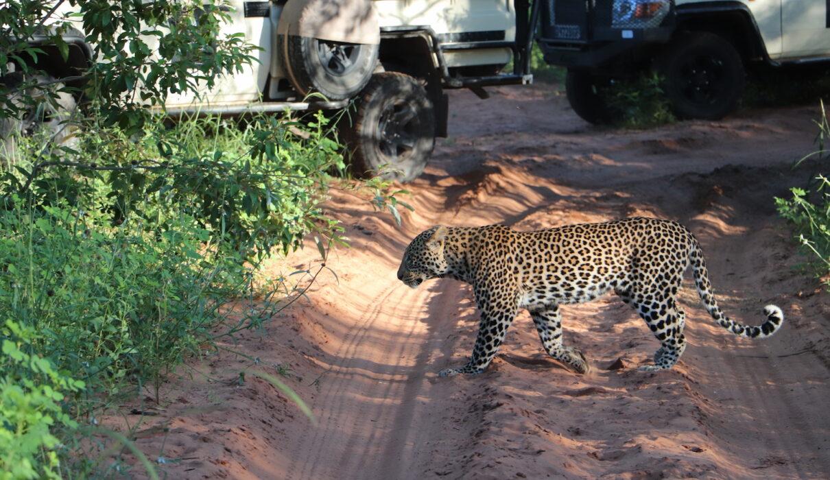 Leopard_Chobe National Park_Botswana_Credit Katrina Holden