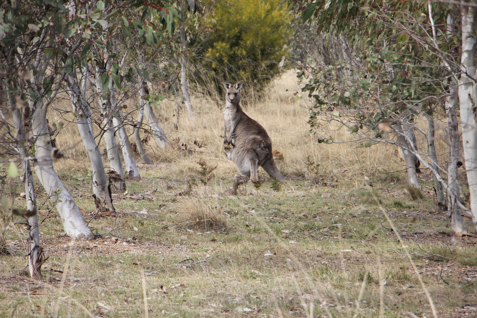 Kangaroos on the property at Majestic View Cottages NSW. Credit: Katrina Holden
