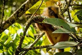 Mitred leaf monkey