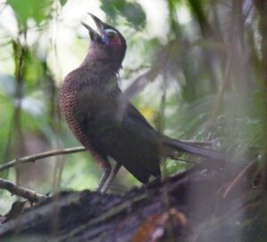 Sumatran Ground Cuckoo