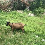 Empower students by adopting a goat and creating unlimited impact
