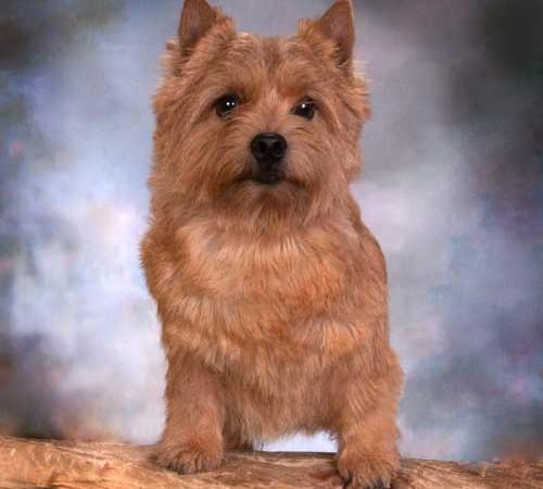 Norwich Terrier - Ain't Miss Behaving