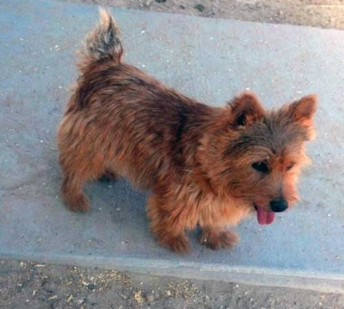Impressive Red Devil - Norwich Terrier