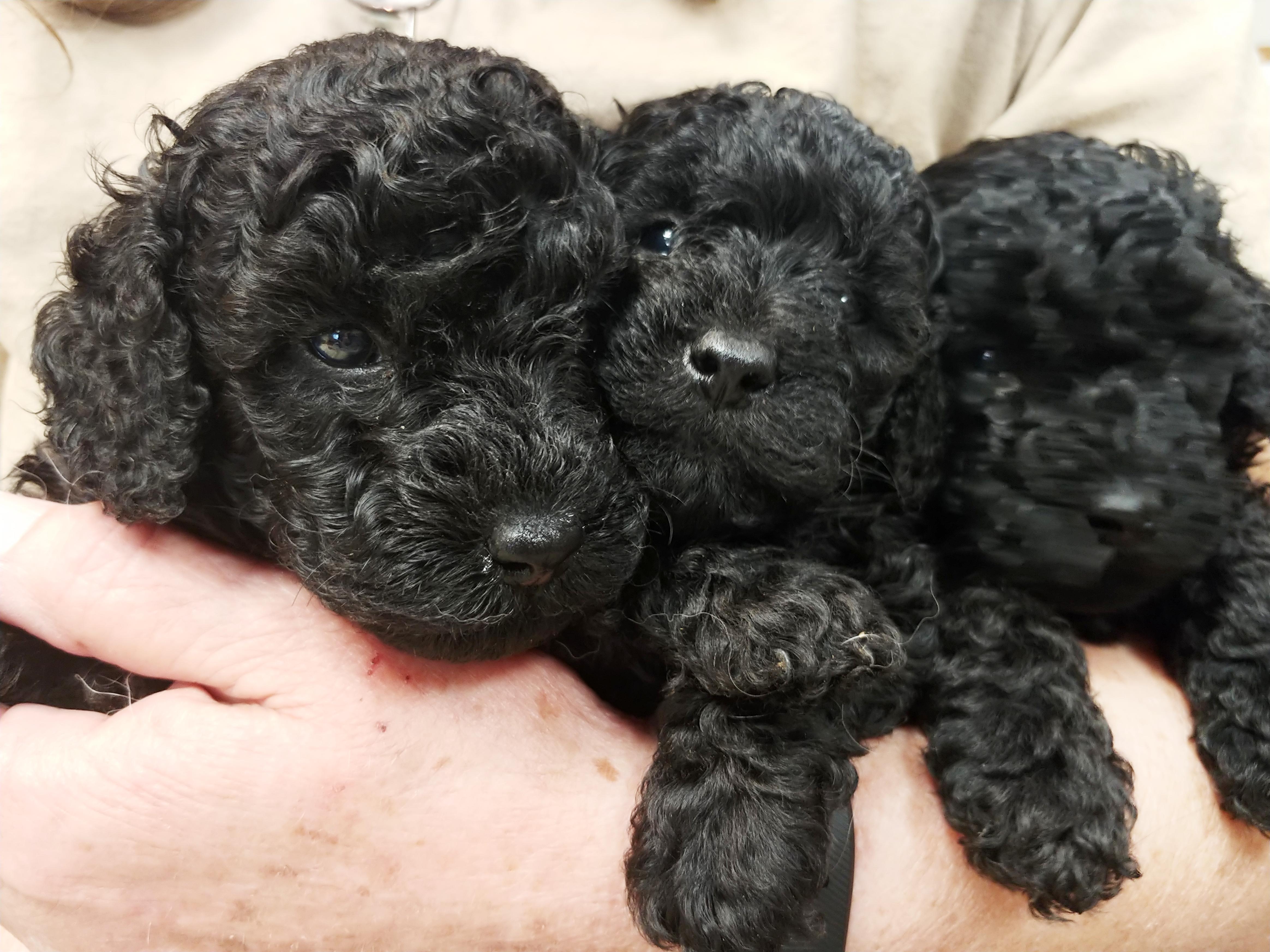 Black Poodle Puppies Impressive Kennels
