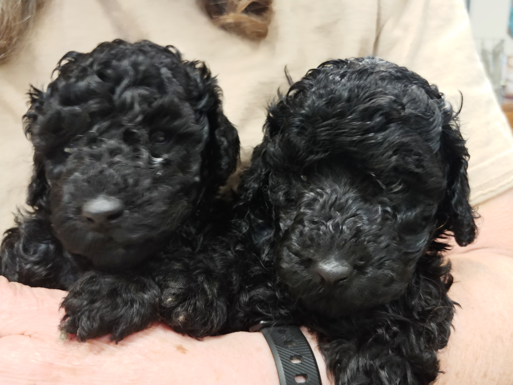 4 week old Puppies, female, poodle, Impressive Kennels