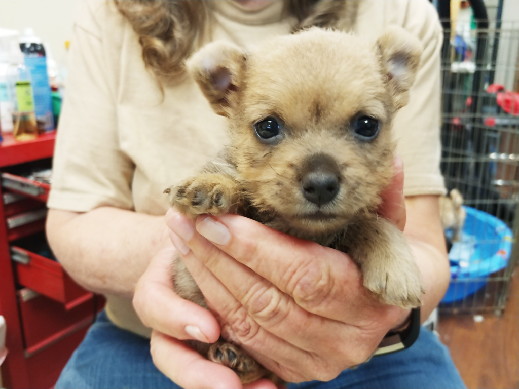one month old puppy, female, Norwich, Terrier