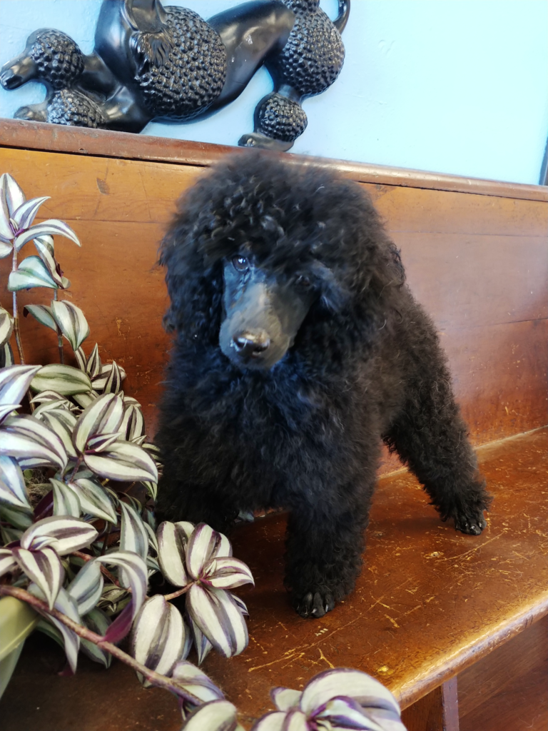 Female poodle pup, born April 15, $1500.00
