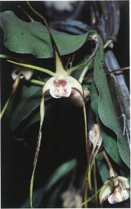 Particularly dark red margins are evident on the sepals of Dendrobium melaleucaphilum `Red Legs'.