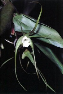 Dendrobium cacatua is the only member of the Dendrobium tetragonum complex with green flowers.