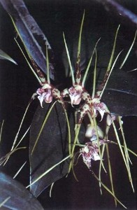 The fine qualities of Dendrobium capitisyork are evident in this specimen with very good color.