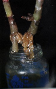 Rooting stems in water