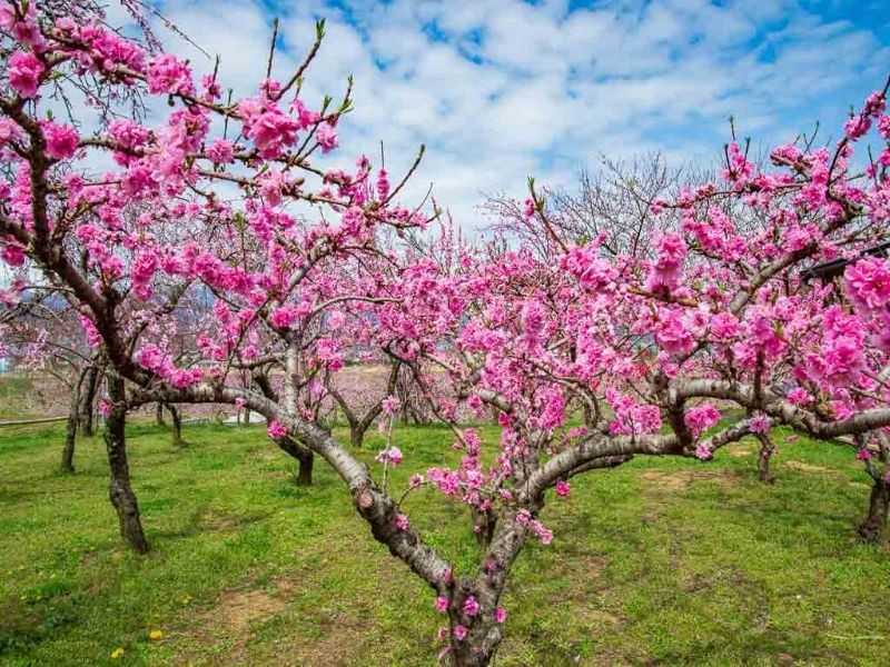 Photo of a peach tree in bloom