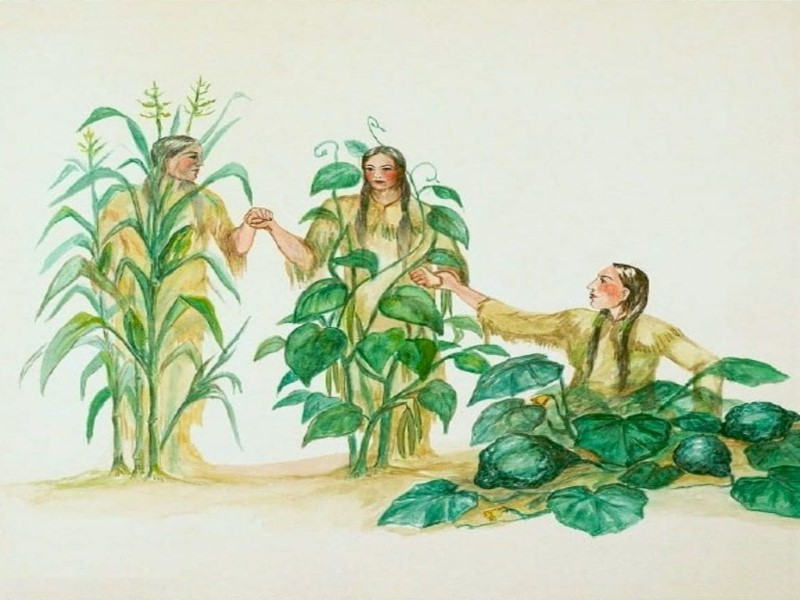 Illustration of the Three Sisters - corn, beans and squash