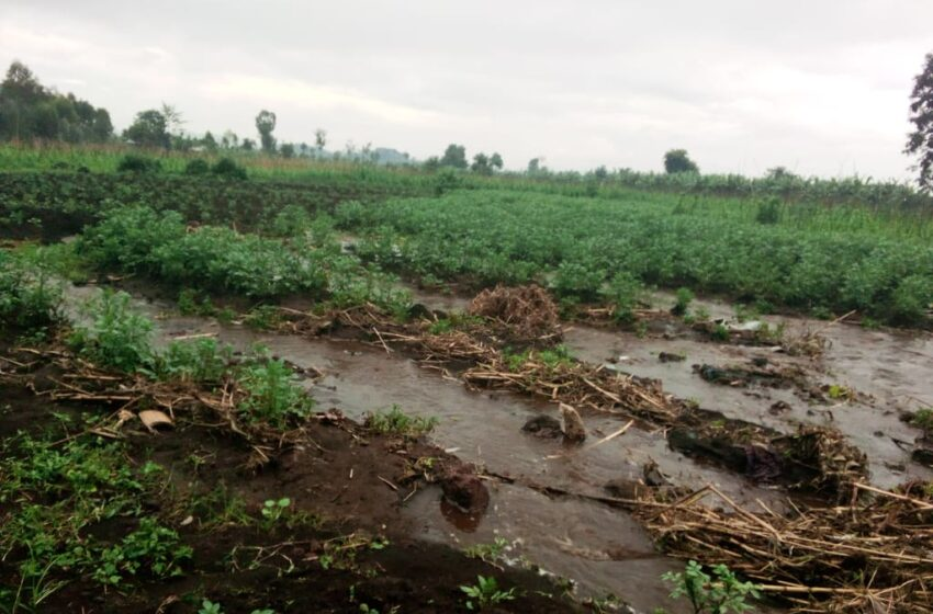 Musanze: Abahinzi b'ibirayi binubira ko nta bwishingizi buhari ku gihingwa cyabo