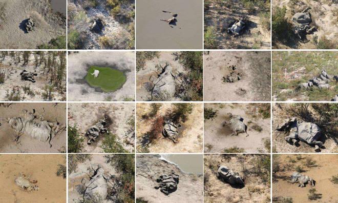 Botswana: Leta ihangayikishijwe n'urupfu rudasanzwe rw' inzovu 350