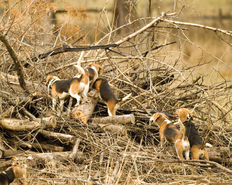Beagles checking a covert for rabbits.