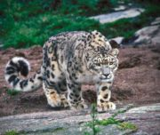 Snow Leopard Expedition5